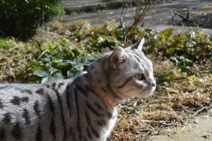 cheshire and wain Luxury-Cat-Collar- leather cat collar