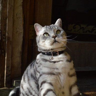 Cheshire-Wain-luxury-RED-leather-cat-luxury cat COLLAR