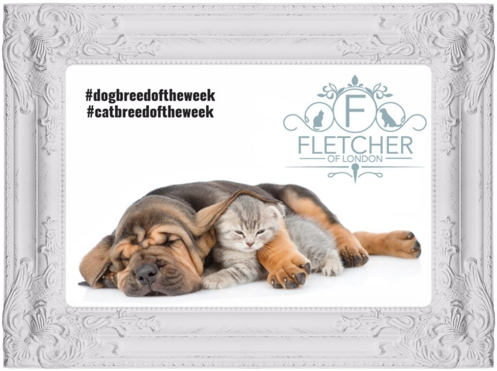 breed week hound