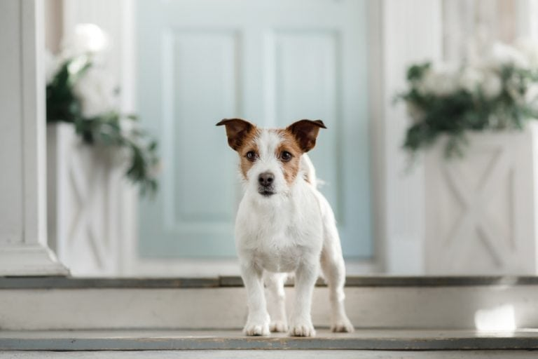 jack russell infront of luxury home