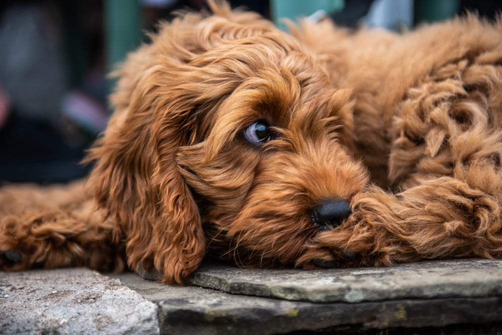 Breeds Of The Week 1
