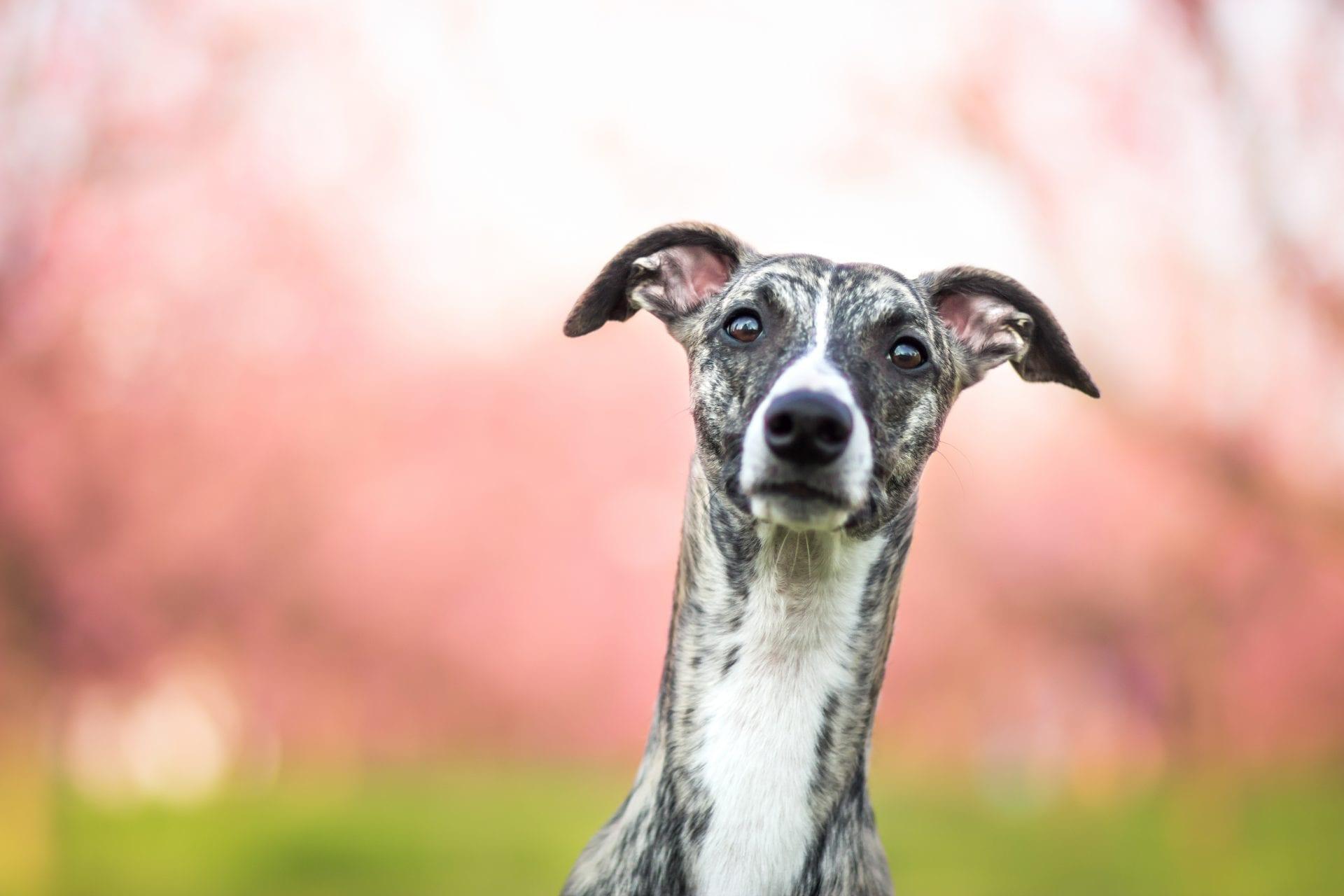 hound & martingdale collars