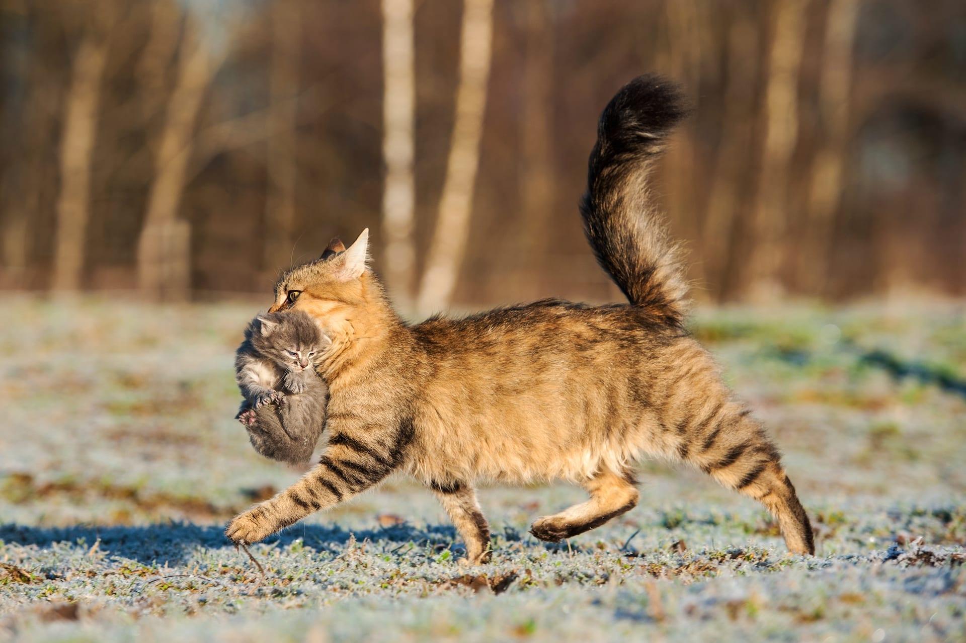 cat carrying her kitten