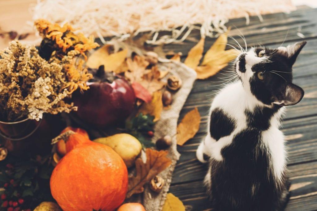 pumpkin halloween cat