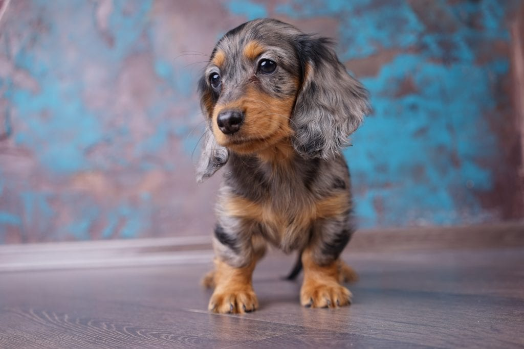 10 Marvellous Miniature Dog Breeds 6