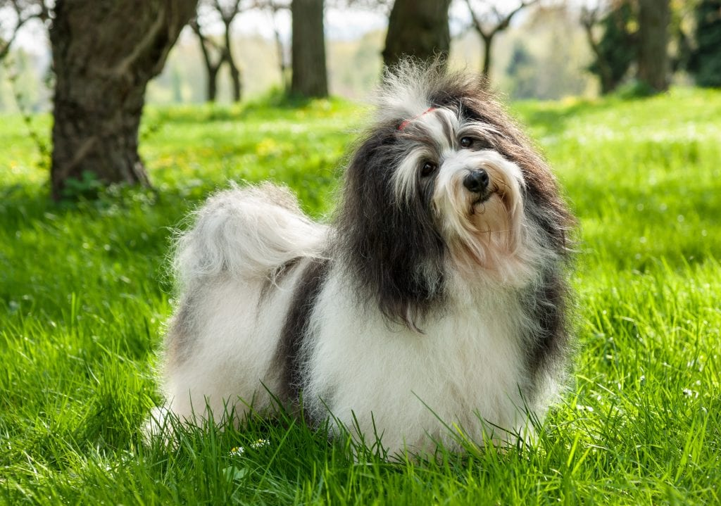 10 Marvellous Miniature Dog Breeds 4