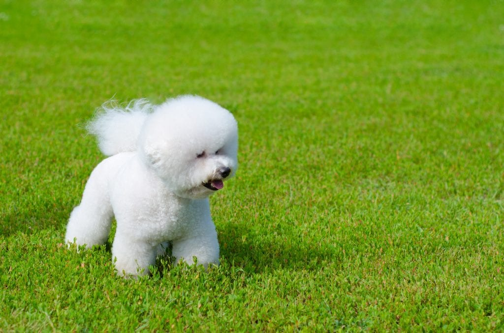 10 Marvellous Miniature Dog Breeds 2