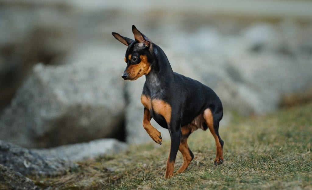 10 Marvellous Miniature Dog Breeds 7