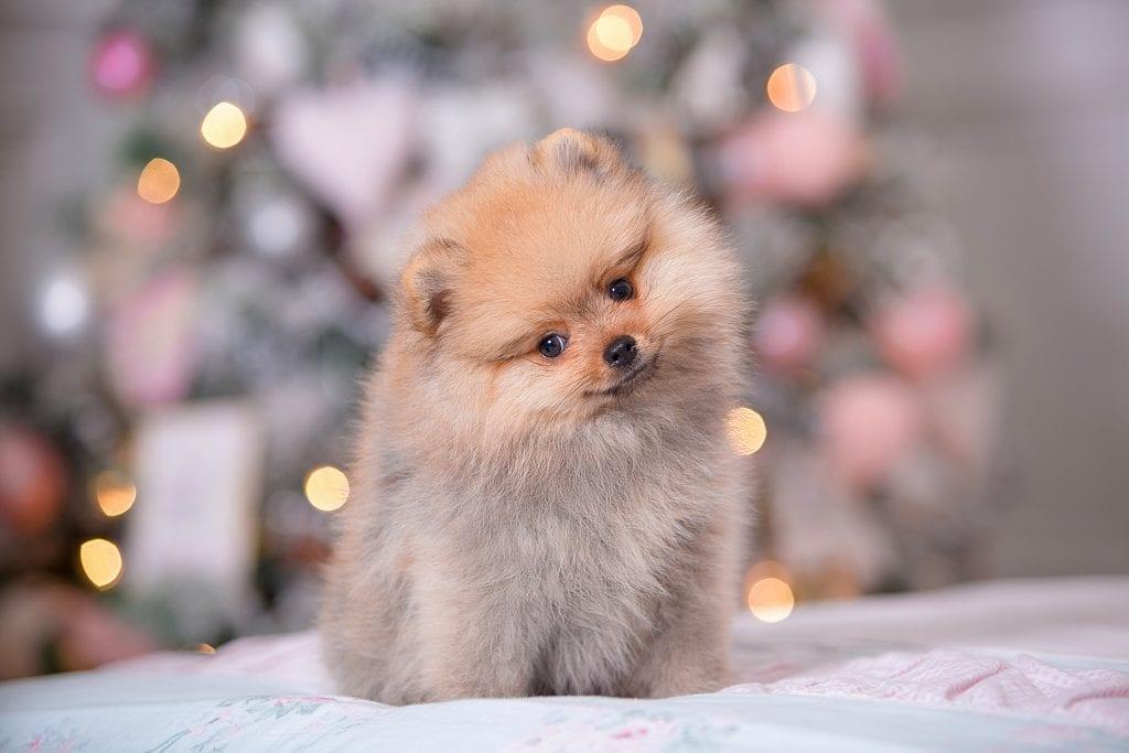 10 Marvellous Miniature Dog Breeds 8
