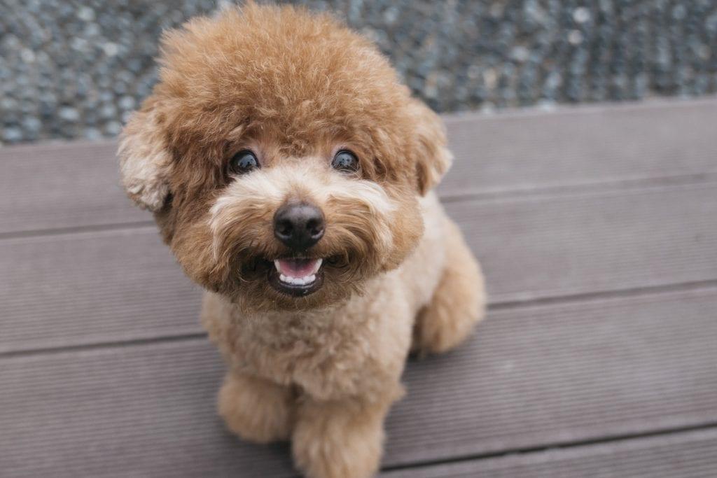 10 Marvellous Miniature Dog Breeds 10