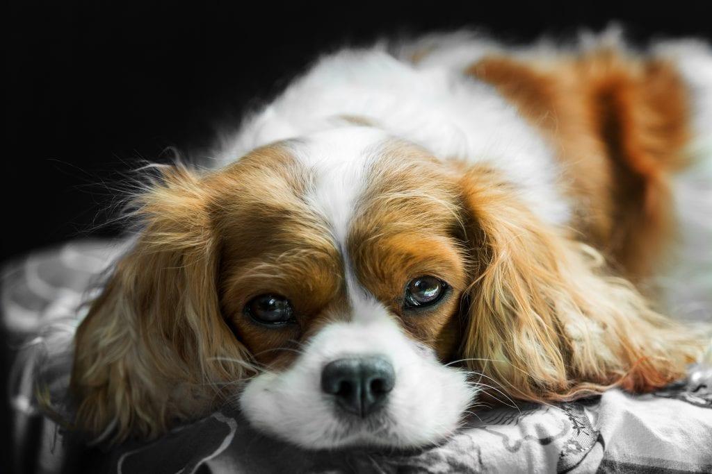 10 Marvellous Miniature Dog Breeds 1