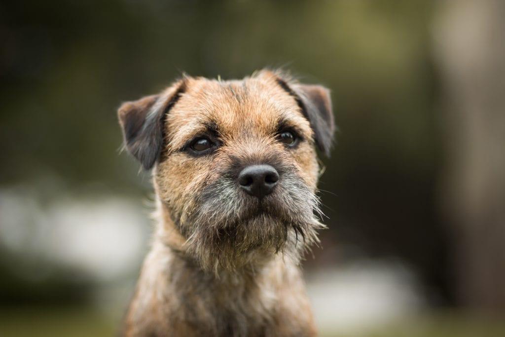 10 Marvellous Miniature Dog Breeds 3